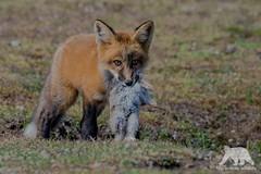 Hungry Fox (fascinationwildlife) Tags: animal mammal wild wildlife nature natur red fox rotfuchs fuchs rabbit kill pup young north america cute predator prey field spring