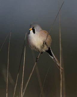 Male Bearded Tit - have missed them!