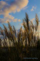 Sunset Grass (karendinan35) Tags: newyorkstateofmind kdinanphotography longbeachny lbny sunset dunegrass