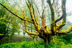 arbola 1 (juan luis olaeta) Tags: paisages landscape canoneos60d canon forest bosque basoa pagoa photoshop lightroom art