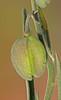 CAE005259a (jerryoldenettel) Tags: 170907 2017 bluemilkwort fabales fresnelcanyon nm oteroco polygala polygalabarbeyana polygalaceae rosids wildflower flower milkwort