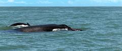 Buckelwal (RiversideMovie&Pictures Wildlife) Tags: ballena buckelwale cheloniamydas costarica marinoballenanationalpark megapteranovaeanglie uvita–costarica walbeobachtungstour wale