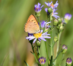 Ruddy Copper at Jackson Hole (robmcrorie) Tags: ruddy copper lycaena rubidus jackson hole wyoming wildlife nature nikon d7500 200500 ed vr lens butterfly