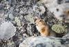 Arctic ground squirrel (JohannesLundberg) Tags: chukchipeninsulatundra asia arcticislands2017 pevek sciuridae spermophilus mammalia chukotkaautonomousokrug theria sciuromorpha location eutheria expedition chaunskydistrict russia spermophilusparryii rodentia arktiskaöar2017 chukotskyavtonomnyokrug pa1104 urocitellusparryii arcticgroundsquirrel arktisksisel певе́к пээкин ча́унскийрайо́н чаанрайон чуко́тскийавтоно́мныйо́круг chukotskiy ru