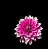 (Parfa) Tags: nikon d3 tokina 100mm f28 sb900 flower beetle bug black dark background