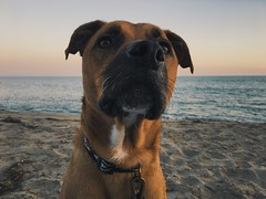 jax (blakeboulka) Tags: beach dogs ocean waves sand behind canine portrait sunset glow magichour handsome mutt pacificcoast malibu dog animals