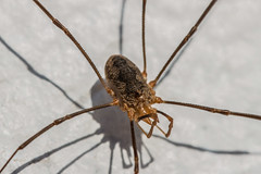 who's your daddy long leg (burd32) Tags: spider macro nature bug 8legs daddy long leg