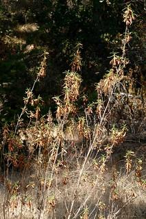 Mimulus aurantiacus var. aurantiacus (M. aurantiacus) STICKY MONKEYFLOWER
