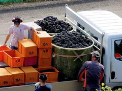 Big buckets (oobwoodman) Tags: switzerland suisse schweiz grandvaux vendange wine vineyards vin vignoble vignes rebe grapes trauben raisins pinot harvest ernte