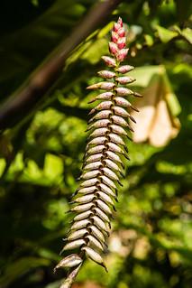 2017-09-19 Botanischer Garten, Puerto de la Cruz (07) - Billbergia macrocalyx Hook. - Botanischer Garten (Jardín Botánico de la Orotava) in Puerto de la Cruz auf Teneriffa