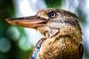 20170928-028a-Lily Creek Lagoon - D750-Flickr.jpg (Brian Dean) Tags: wa lilycreeklagoond750 slideshow 2017tour bluewingedkookaburra birds kununurra facebook flickr caravaning kimberleyland