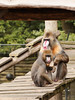 Mandrils (ericderedelijkheid) Tags: ouwehandsdierenpark rhenen dierentuin zoo netherlands