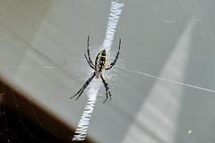 Zig Zag (Jim Atkins Sr) Tags: orbweaverspider spider orbweaver nephila insect macro closeup sonyphotographing sonya58 sony web fairfieldharbour northcarolina