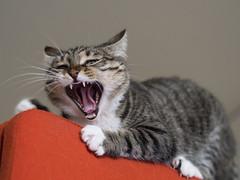 Avignon (lauriepetsitterparis) Tags: cat chatte mignon minou miaou grimace catsitter petsi petsitter