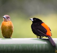 I'm not listening to you! (adeleshaw) Tags: tanagers birds costarica centralamerica orangerumpedtanager manuelantonio