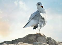 ~The snack bar is that way....... (nushuz) Tags: seagull beach bulwaggabay porthenryny sand water blueskies kingofthehill