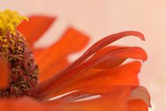 (adelina_tr) Tags: petals zinnia orange 7dwf 7dayswithflickr macro flowers bokeh half nikond5300 nature diagonal