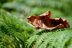 fallen leaf (Herr Nergal) Tags: natur braun brown grün green lumix fz1000 panasonic close up blatt blätter farn sommer herbst autum summer beautiful schön wald forest bokeh unscharf blurred saarland nunkirchen germany deutschland