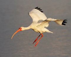 White Ibis Landing (dbadair) Tags: ft desoto bird nature wildlife shore bif flight 7dm2 canon