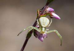 En attendant une proie (sosivov) Tags: sweden macro crabspider heather spider forest