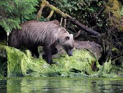 MRC_5395 Sow in Alaska @ 75m (Explored) (Obsies) Tags: grizzly brownbear sow alaska wildlife wildbear