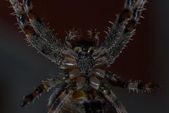 Hello (jezebel_cux) Tags: makro macro spider spinne sigma105mmf28macro kreuzspinne araneus