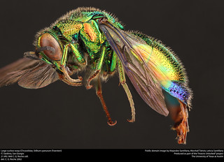 Large cuckoo wasp (Chrysididae, Stilbum cyanurum (Foerster))