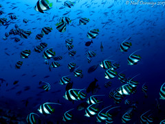 THE BANNERS ARE OUT (Niall Deiraniya Underwater Photography) Tags: bannerfish fish banner shoal underwater coral marine