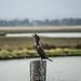 Sea Birds of Palo Alto-7360