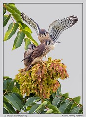 Kestrel Family Portrait (Sharon's Nature) Tags: kestrel falcosparverius falcon virginia skymeadowspark chicks canon