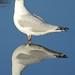 gull reflection (3)