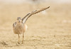 Wing-Stretch (Explored) (Rick Derevan) Tags: bird shorebird sandpiper calidrissubruficollis morrobay california buffbreastedsandpiper bokeh droh dailyrayofhope