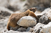 Marmot Series (Jami Bollschweiler Photography) Tags: marmot groundhog whistle pigs wildlife photography utah silver lake amazing funny hilarious poses