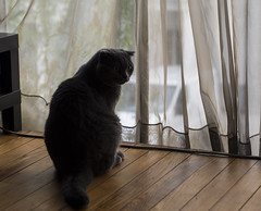 Léonardo (lauriepetsitterparis) Tags: chat cat catsitter schottish fold minou miaou petsitter mignon