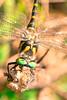 Helikopterua - Libelula - Dragon-Fly (Hanzo STD) Tags: a550 dslr euskadi sonyalphaa550 macros macro animales animals lupa magnifyingglass