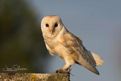 The Barn Owl (JDS-photo) Tags: barnowl tytoalba barny owl wildbarnowl bird birdofprey wildowl kill vole nature wildlife lightroom canoneos80d canonef400mmf56lusm
