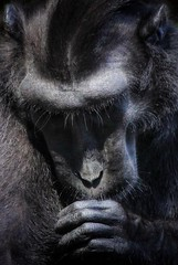 A penny for your thoughts (leewoods106) Tags: monkey black animal face thought thinking thinker hand fingers ape