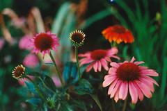 Echinacea (Jetcraftsofa) Tags: pentaxsp helios442 polarizer ultramax400 35mm filmphotography echinacea flowers hana bokeh