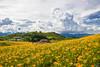 IMG_8024 (Rj Wu) Tags: 台灣 台東 池上 六十石山 金針花 花東縱谷 夕陽 黃昏 雲 天空 山 山谷 植物 太陽 耶穌光 斜射光 霞光 風景