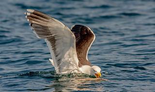 JWL0647 Black Backed Gull..