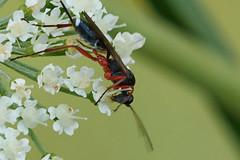 Sluipwespje op engelwortel (hansKiek) Tags: sluipwesp schlupfwespe ichneumon wasp wesp