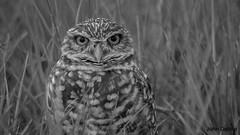 Burrowing owls of Cape Coral Florida (flintframer) Tags: birds owls burrowing south florida cape coral bw black white blackwhite wow dattilo grass canon t5i ef100400mm
