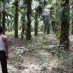 Oil palm harvesting thumbnail