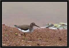 COMMON SANDPIPER (PHOTOGRAPHY STARTS WITH P.H.) Tags: nikon devon topsham bowling green marsh common sandpiper