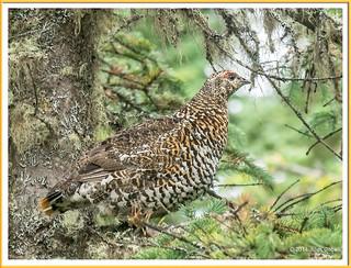 Tétras du Canada (F) - Spruce Grouse (F)