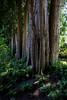 Cedar Grove (Dave In Oregon) Tags: cedars trees butchartgardens garden vancouverisland canada