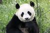 Wu Wen (PictureWendy) Tags: gigantpanda panda reuzenpanda ouwehands ouwehandsdierenpark zoo ouwehandszoo