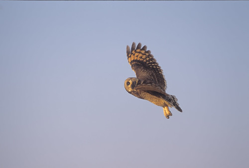 Marsh Owl ,wings open 3315