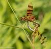 Romance at Dragonfly Pond (rdroniuk) Tags: dragonfly insects dragonflies odonata halloweenpennant halloweenpennantdragonfly halloweenpennantsmating celithemiseponina insectes libellules célithèmegéante dragonfliesofontario
