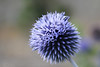 Blue Globe! (Jay Bees Pics) Tags: globethistle blue echinops derbyshire 2017 bakewell bathgardens ngc magicunicornverybest npc naturethroughthelens